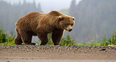 Man in Bear Costume Harasses Bears in Alaska