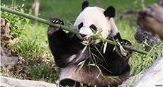 Washington Zoo Welcomes Twin Pandas