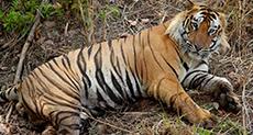 Tiger Attacks Keeper on Morning Walk!