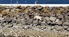 Alaskan Mountain Goat Dies Fleeing Photoshoot Attempt!