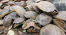 Indian Police Rescue 6,000 Turtles in «Largest» Haul