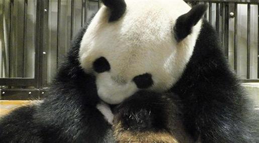 Baby Giant Panda Born in Tokyo Zoo, Survival Uncertain