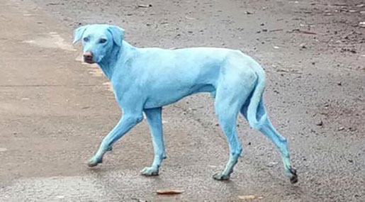 Mumbai's Blue Dogs: Industrial Waste Blamed