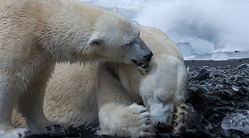 Man Fined for Scaring Polar Bear in Arctic Norway
