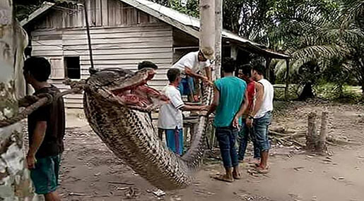 Giant Python Attacks Indonesian Man Before Being Eaten!