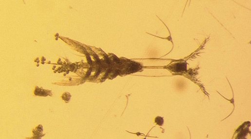 Eight-Legged, One-Eyed Creature Discovered in the Arctic