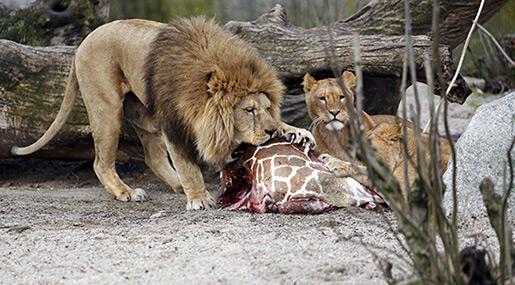 Danish Zoos Accept Pets as Predator Feed