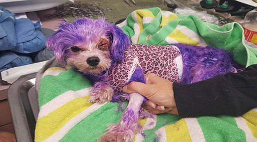 Dog Almost Dies of Severe Allergic Reaction after Owner Dyed It Purple