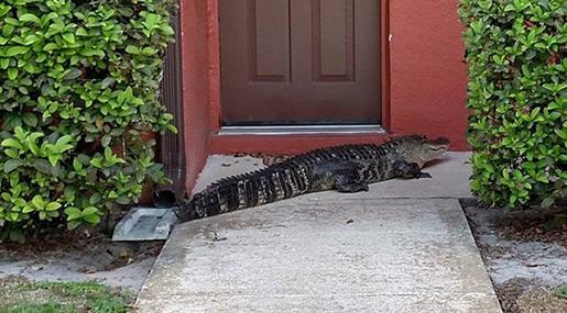 Intruding 9-Foot Alligator Lurks Outside Florida Apartment
