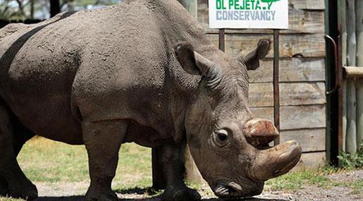 Last Male Northern White Rhino 'Sudan' Dies in Kenya
