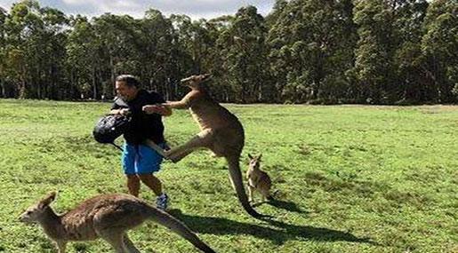 Carrot-Addicted Kangaroos Attacking Tourists in Australia
