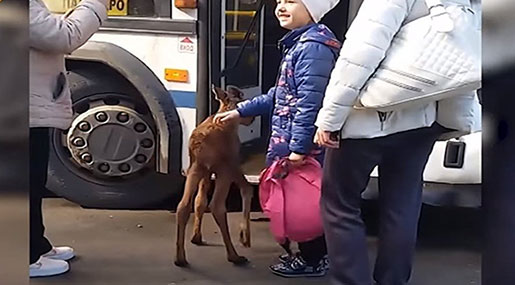 Baby Moose Takes Bus Ride in Russian Village