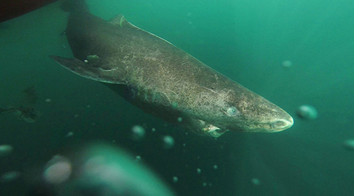 Sluggish Arctic Shark World's Oldest Creature