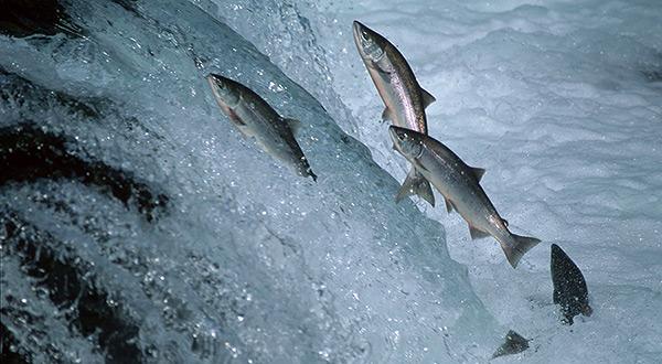 GMO fish
