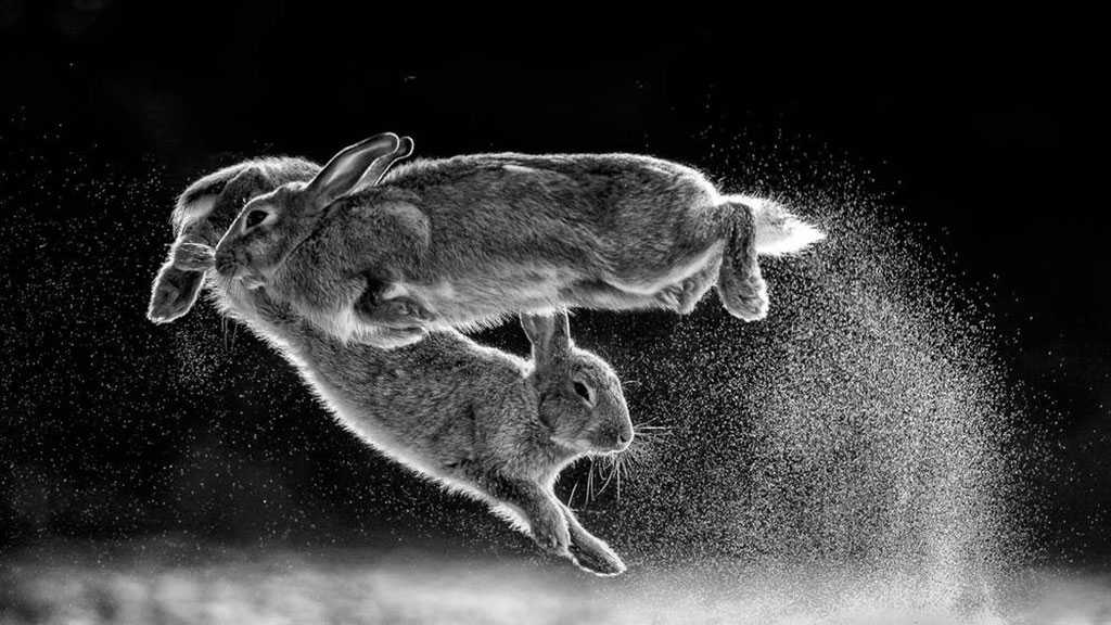 Extraordinary Photo of Leaping Rabbits Wins Annual Prize