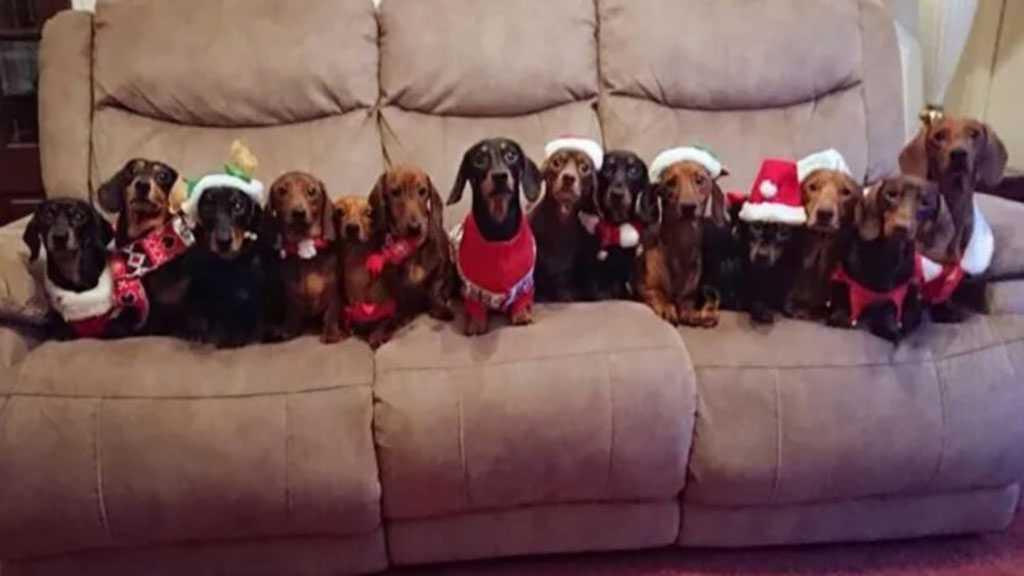 17 Adorable Dachshunds Pose for Perfect Christmas Photos