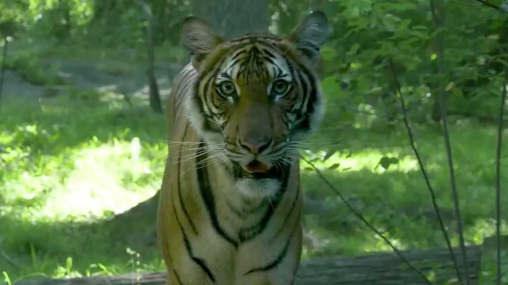 Tiger at NY City Zoo Tests Positive for Covid-19