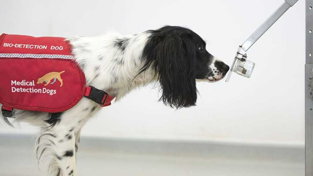 UK Launches Trials for 'Covid-19 Sniffer Dogs'