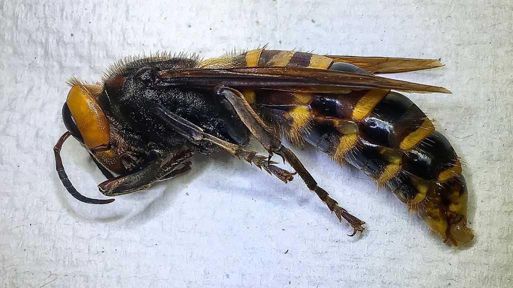 """First """"Murder Hornet"""" Captured in Washington"""
