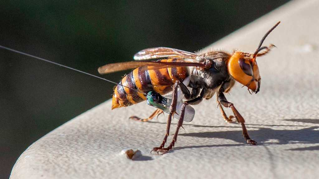 First Nest of Invasive Asian Giant Hornets Finally Located in Washington State