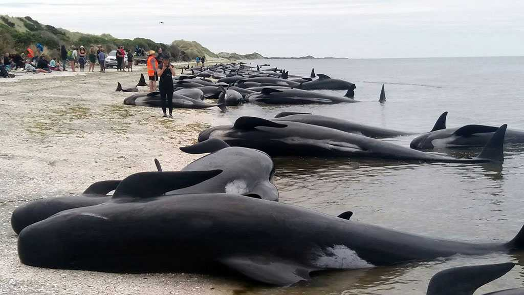 Nearly 100 Pilot Whales Die After Mass Stranding in New Zealand